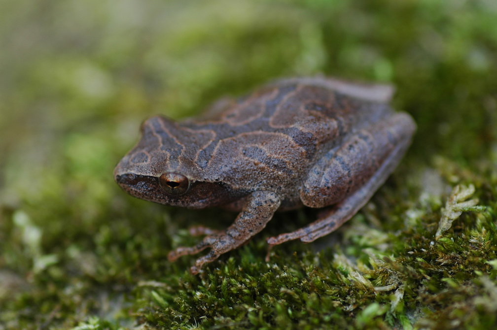 Color photograph of a Spring Peeper (Pseudacris crucifer).