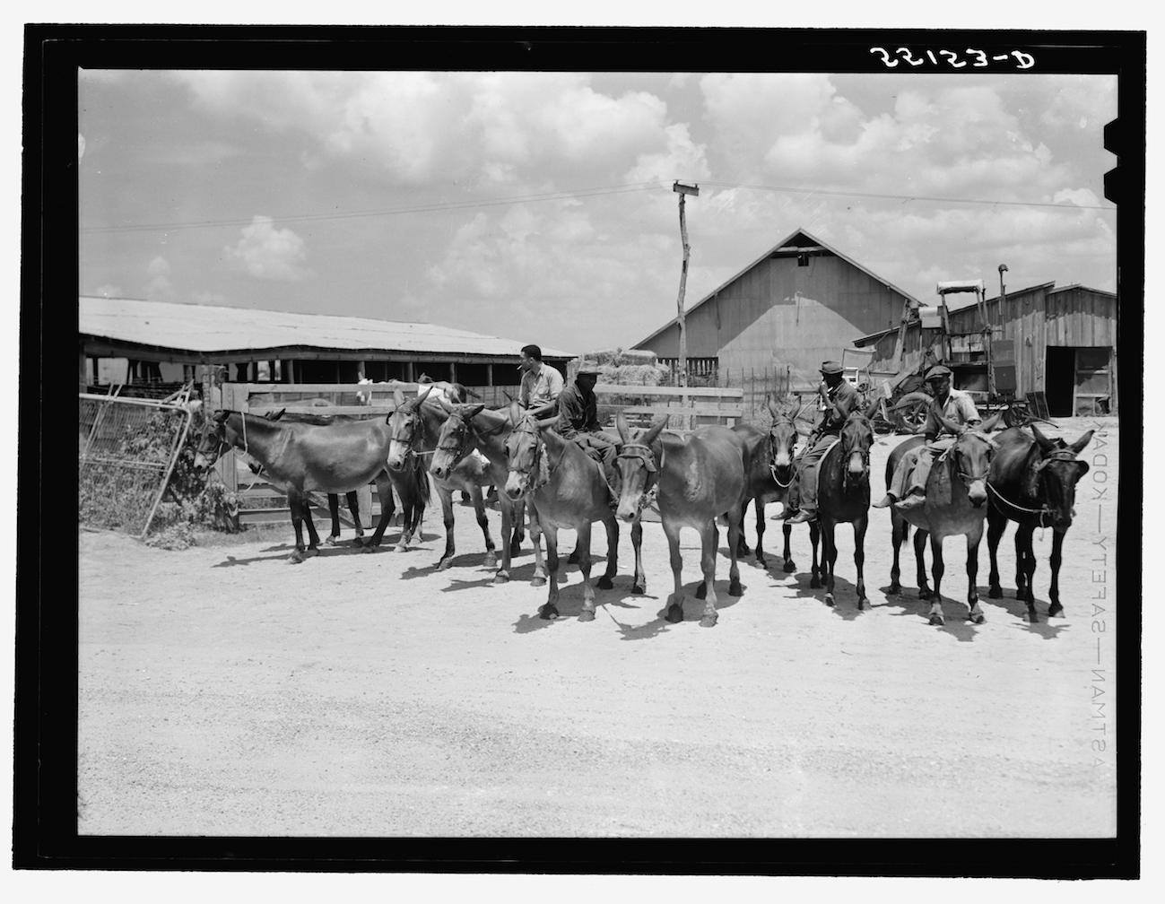 Mule Farming
