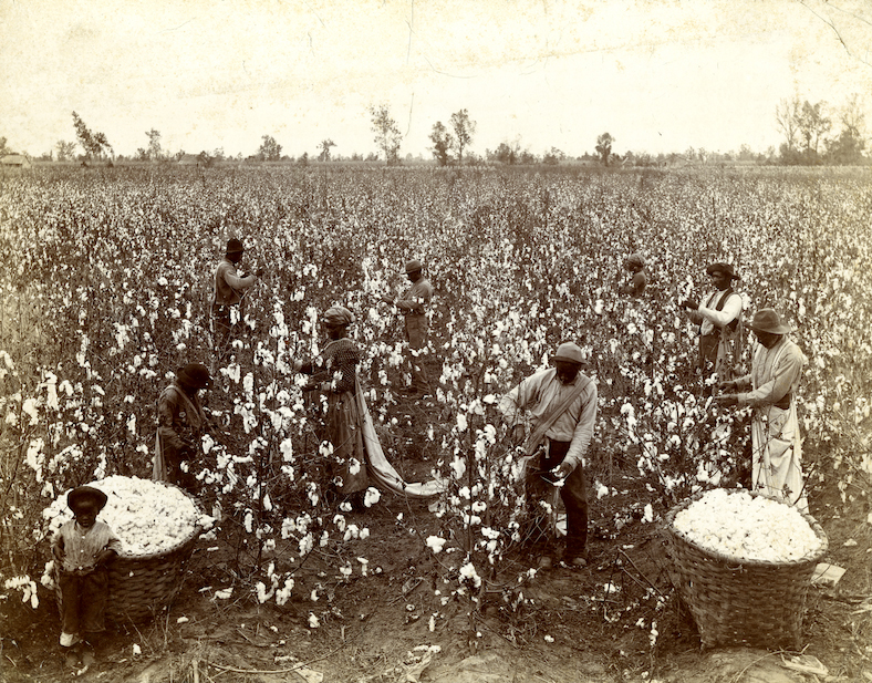 Picking cotton.